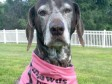 Tripawd Angel Dottie Gives Back