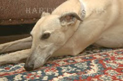 Greyhounds Rock Canine Cancer Angel Emma