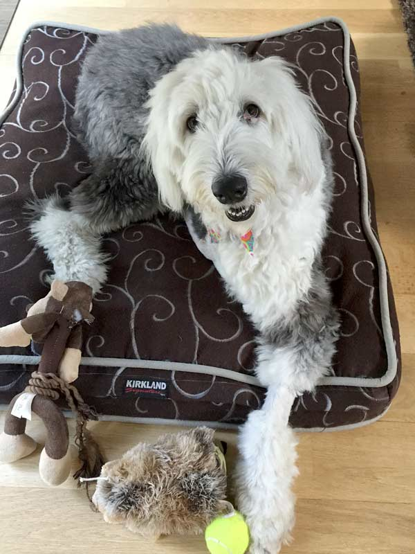 English Sheepdog Tripawd Sadie