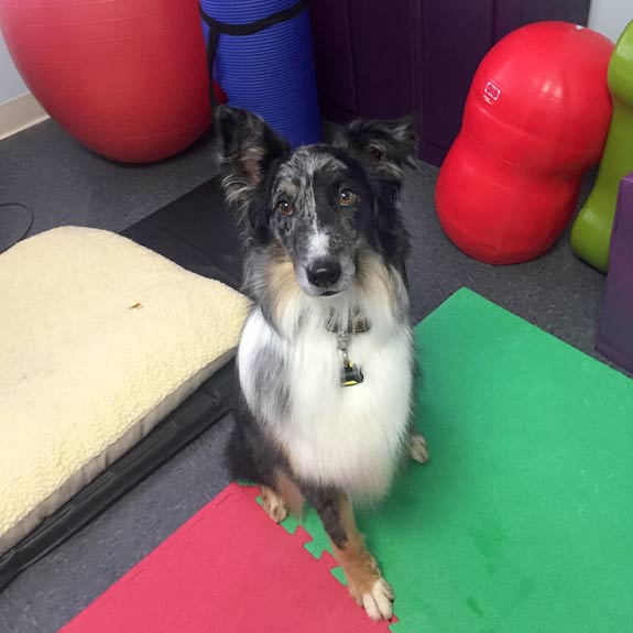 Canine Rehab for Tripawd Domino