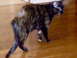 tripawd kitty holly