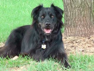 tripawd flat coat retriever rosco
