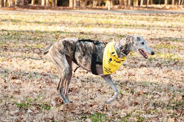 Senior Tripawd Greyhound Nixon Running
