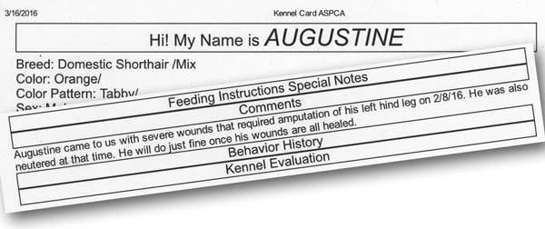 NYC ASPCA Tri-kitty Augustine