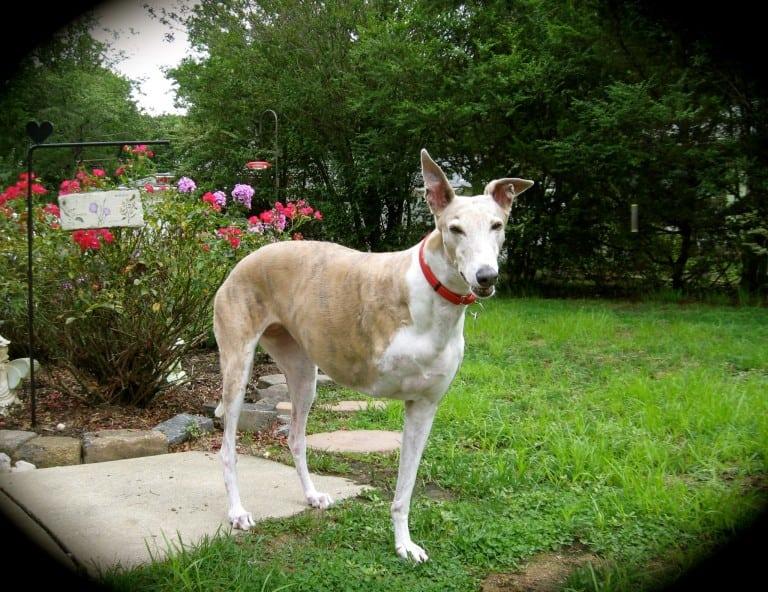 Tripawd Geyhound Lily