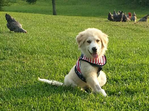 Tripawd Puppy Luna