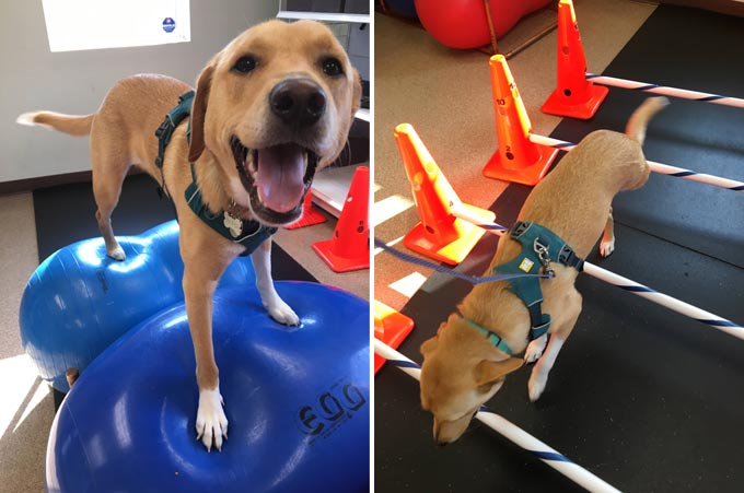 amputee pets exercise gear