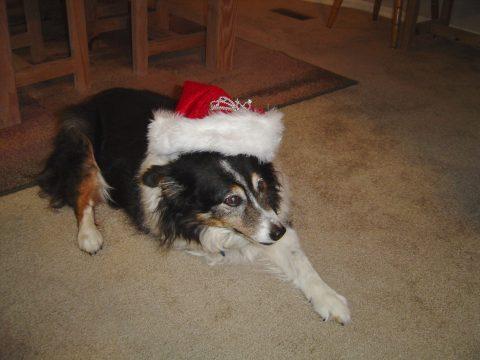 Tripawd Molly Williams Christmas 2012